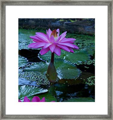 Water Lilly And Bee Framed Print