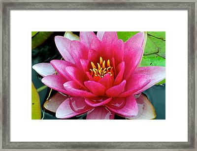 Water Lilly Framed Print by Frozen in Time Fine Art Photography
