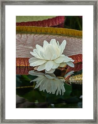 Lily Pond Framed Print