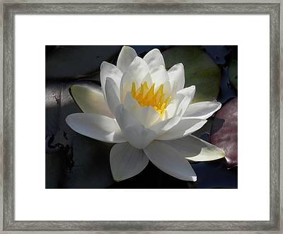 Water Lily 2 Framed Print by Pema Hou