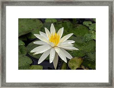 Framed Print featuring the photograph Water Lily 5 by David Lester