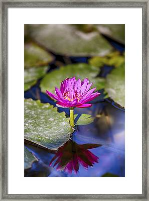 Water Lily 5 Framed Print by Scott Campbell