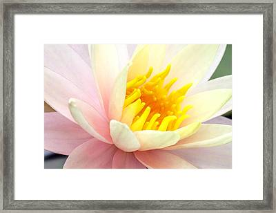 Framed Print featuring the photograph Water Lily 6 by David Lester