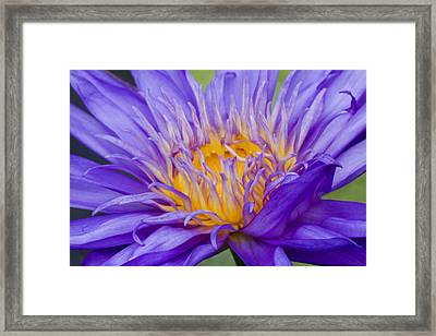 Framed Print featuring the photograph Water Lily 7 by David Lester