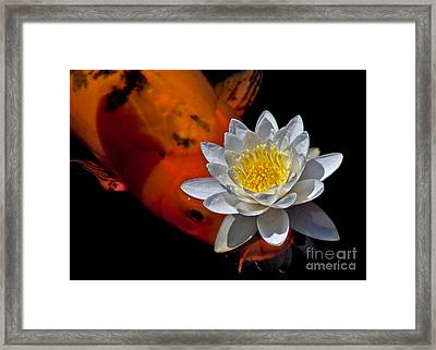 Water Lily And Koi Framed Print by Kim Michaels