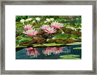 Water Lily And Lily Pads, Como Park Zoo Framed Print
