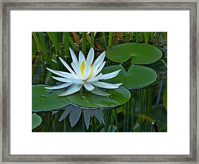Water Lily And Reflection Framed Print by Pete Trenholm