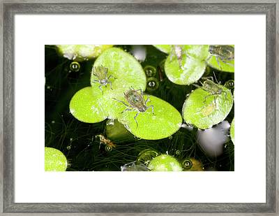 Water-lily Aphids On Duckweed Framed Print
