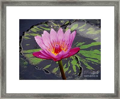 Water Lily Framed Print by Cynthia Merino