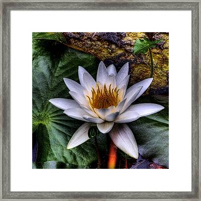 Water Lily Framed Print by David Patterson