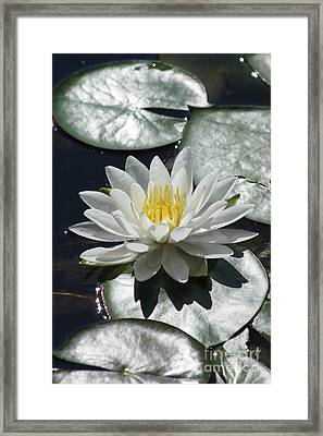 Water Lily II Framed Print