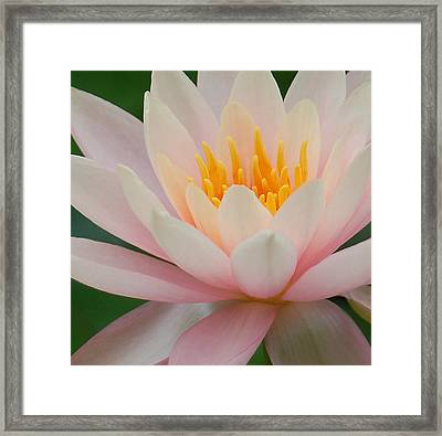 Water Lily II - Close Up Framed Print