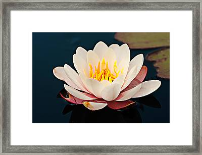 Water Lily In A Pond, Mendocino Coast Framed Print by Panoramic Images