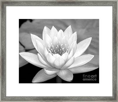 Water Lily In Black And White Framed Print by Sabrina L Ryan