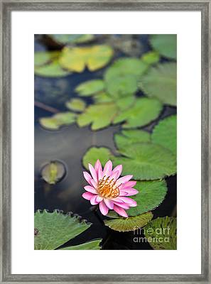 Water Lily Framed Print by Liesl Marelli