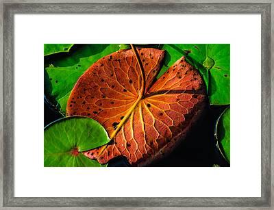 Water Lily Pad Framed Print by Louis Dallara