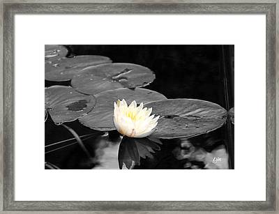 Framed Print featuring the photograph Water Lily by Phil Mancuso
