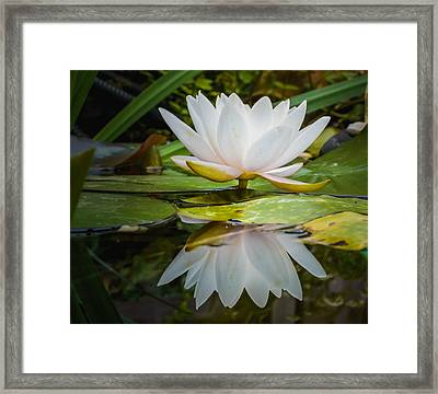 Water-lily Reflection Framed Print