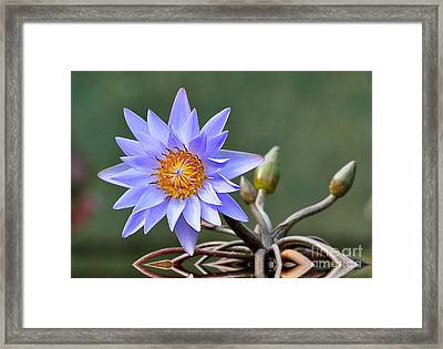 Water Lily Reflections Framed Print by Kathy Baccari