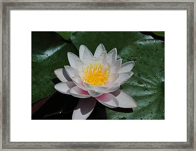 Framed Print featuring the photograph Water Lily by Robert  Moss