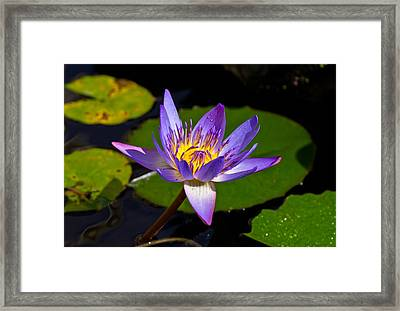 Water Lily  Framed Print by Scott Carruthers