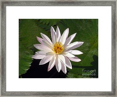 Water Lily Framed Print by Sergey Lukashin