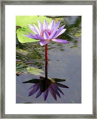 Water Lily - Shaded Framed Print by Pamela Critchlow