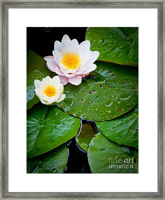 Water Lily Study Framed Print by Inge Johnsson