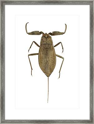 Water Scorpion Framed Print