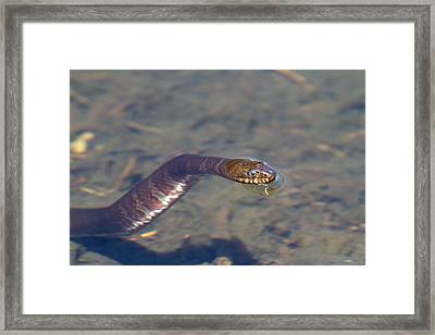 Water Snake Framed Print by Karol Livote