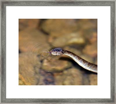 Water Snake Framed Print by Susan Leggett