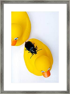 Waterbug On Rubber Duck - Aerial View Framed Print by Amy Cicconi