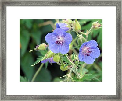 Watercolor Blossoms Framed Print by Susan Desmore