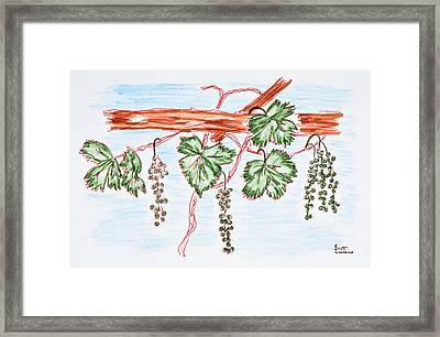 Watercolor Of Vines With Grapes, France Framed Print