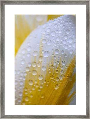 Waterdrops On Tulip Framed Print by Robert Camp