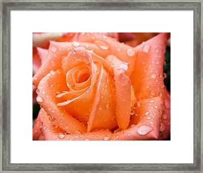 Watered Rose Framed Print