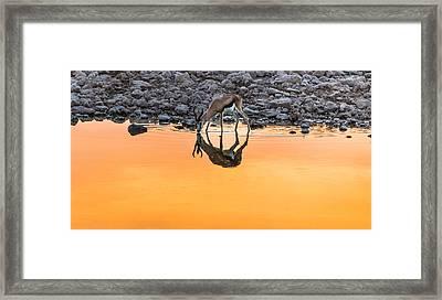 Waterhole Sunset - Springbok Antelope Photograph Framed Print