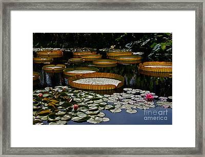 Waterlilies All Framed Print by Byron Varvarigos