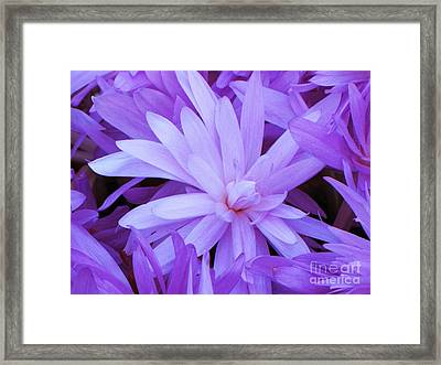 Waterlily Crocus Framed Print