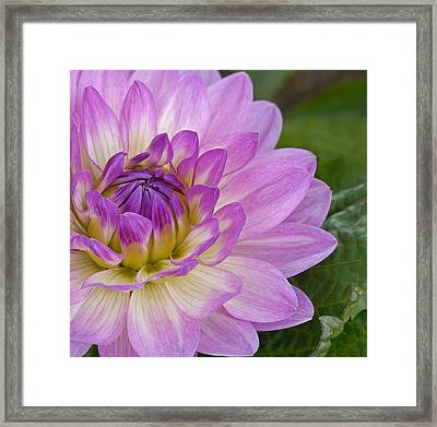 Waterlily Dahlia Framed Print