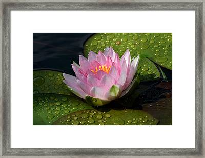 Watery Lily Framed Print