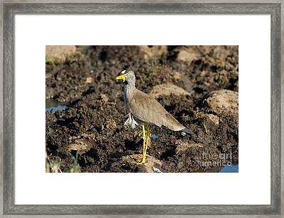 Wattled Plover Vanellus Senegallus Framed Print