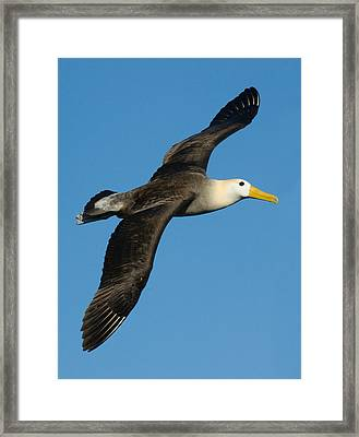 Waved Albatross Diomedea Irrorata Framed Print