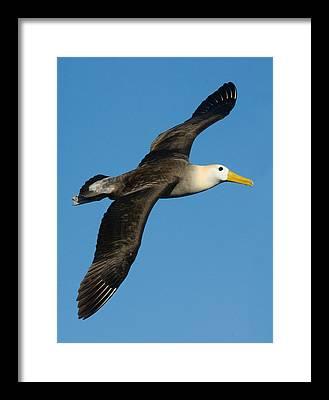 Albatross Framed Prints