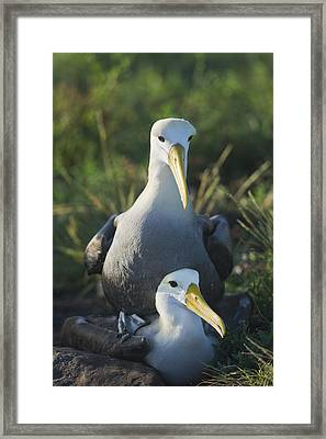 Waved Albatross Mate In Galapagos Framed Print by Richard Berry