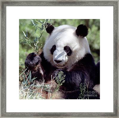 Waving The Bamboo Flag Framed Print