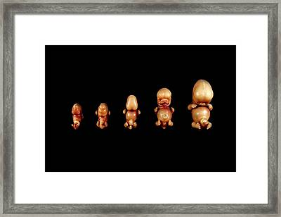 Wax Models Of Human Foetal Development Framed Print by Gregory Davies