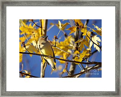Waxwing Beauty Framed Print