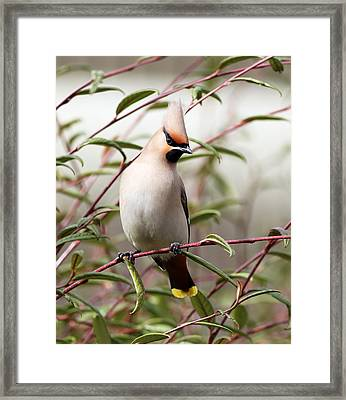 Waxwing Framed Print by Grant Glendinning