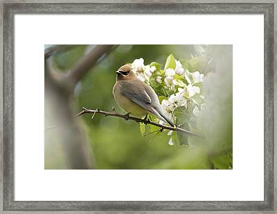 Waxwing In A Dream Framed Print by Penny Meyers